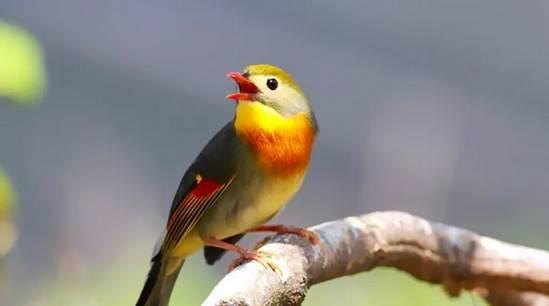 相思鸟怎么养的经验与教训