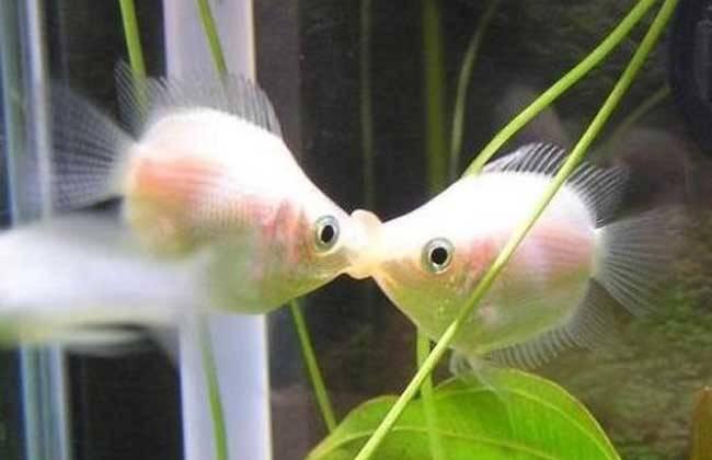 天气太热!客厅鱼缸的水温烫手,热带鱼被热死了…