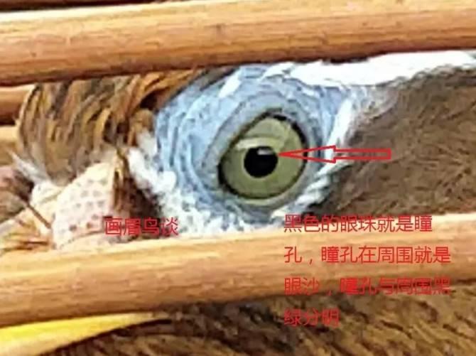 一种易患白内障画眉鸟的特征
