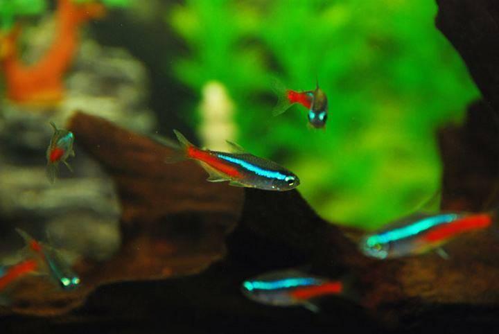 观赏鱼红绿灯鱼好养吗?红绿灯鱼怎么繁殖