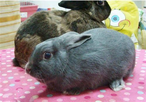 公兔绝育后还是不温顺,而且有交配行为,这种现象是否正常?