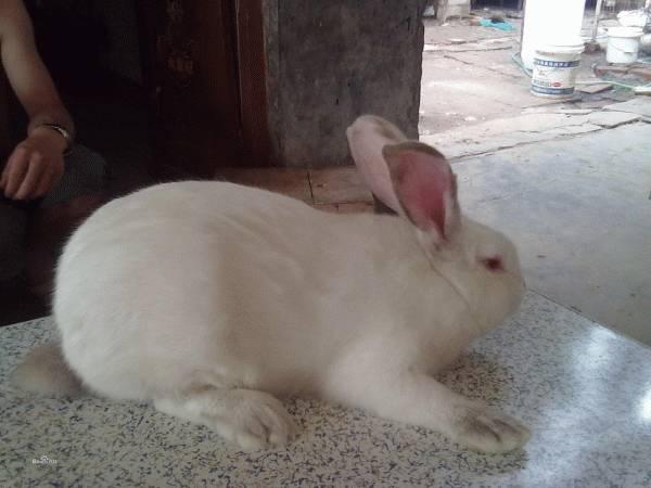 公羊兔幼崽多少钱一只