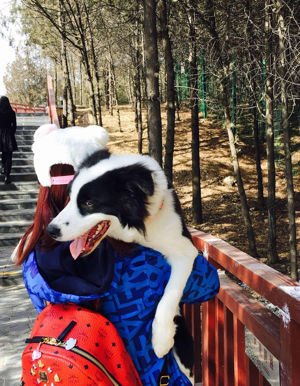 (幸福的边牧)母后说宝贝 天气好 我们去爬山吧⋯⋯我笑了 当然没问题⋯⋯因为我全程不用爬山的⋯⋯我有办法让母后抱着我爬看我爪子那么白⋯⋯你懂的