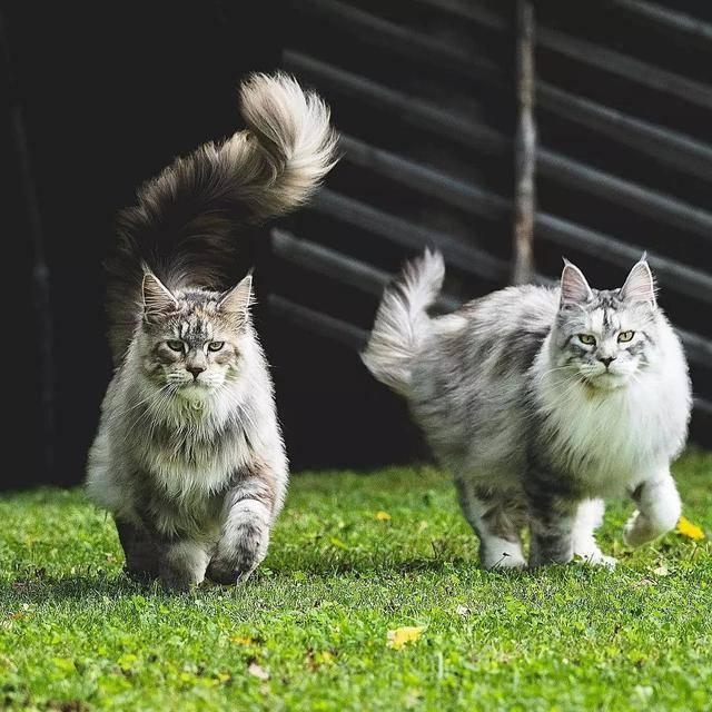 缅因猫配种的问题