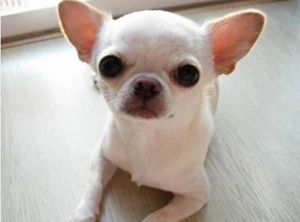吉娃娃犬好养吗