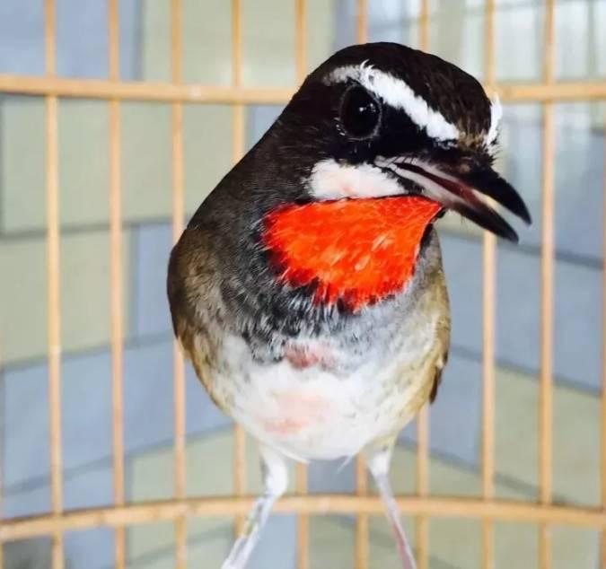 新手慎入春鸟,总有些人禁不住诱惑。出于一份喜爱,无可厚非。