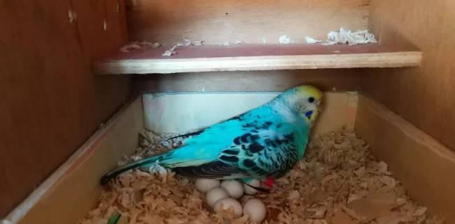 虎皮鹦鹉繁殖箱的设置