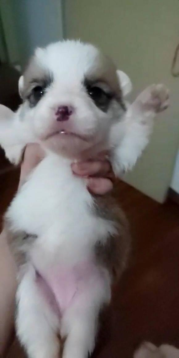 自家狗狗生的,刚睁眼睛的柯基宝宝