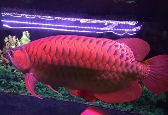 龙鱼怎么养,红龙鱼怎么养好,龙鱼华丽转身,惊艳!