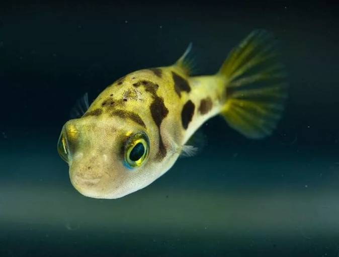 它们是宠物鱼世界的萌神代表,5种观赏鲀可爱到爆!~