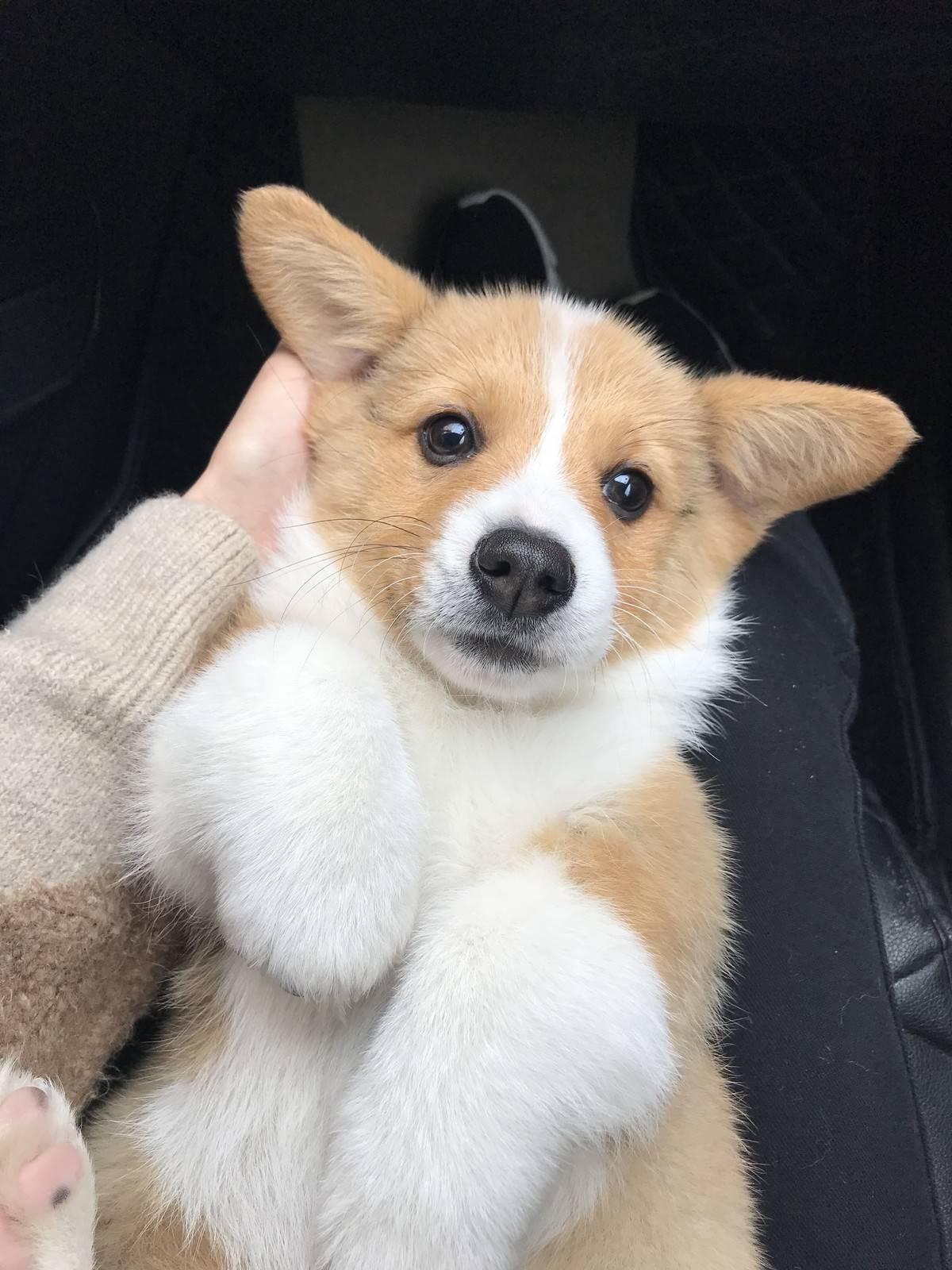 柯基 ,新狗来报道 我们是一只男孩子哦……