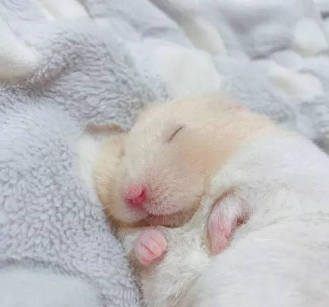 熟睡中的小仓鼠,睡得好香呀~