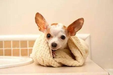 狗为什么会得扁桃体炎?扁桃体炎的症状及治疗方法
