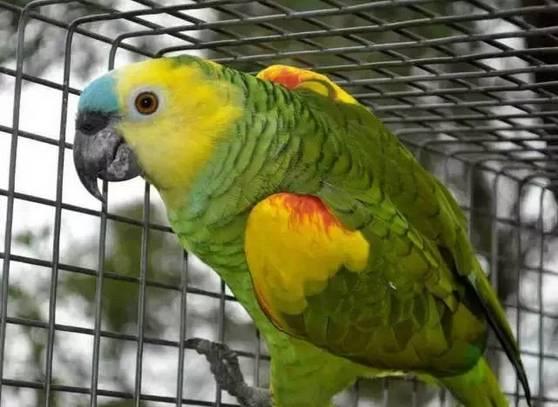 蓝顶亚马逊分布于巴西的许多地区,黄翼亚马逊则分布于北玻利维亚、巴拉圭、阿根廷北部及巴西部分地区。