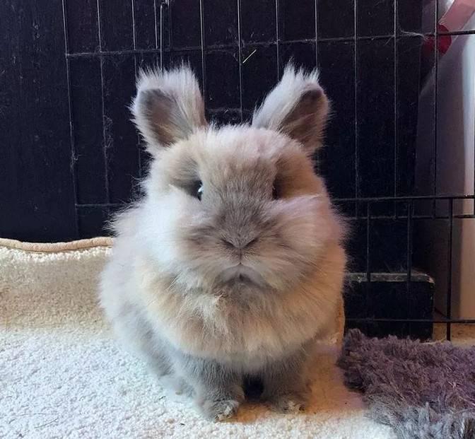 """看着看着是不是动了想养兔子的心?但如果你想到换毛季,估计就要打退堂鼓了。这两只兔子掉起毛来,真真是""""暴雪""""了。"""