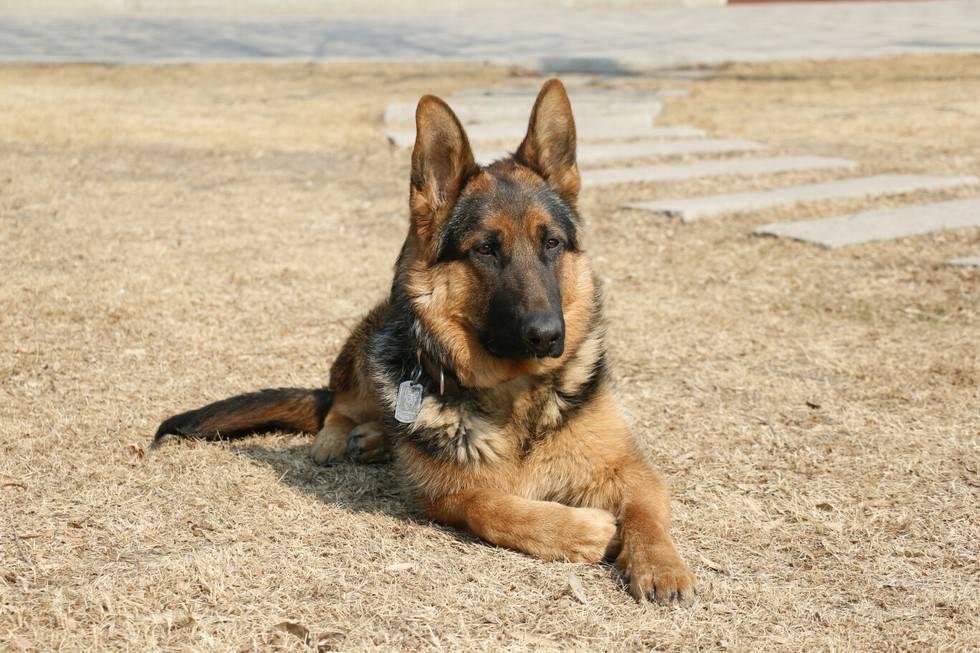 狼狗是狼和狗交配所得的动物。因为从生物学的角度讲狗和狼属于学名为Canislupus的同一个物种,所以狼狗与骡子不同,并非杂种,故它们具生育能力。