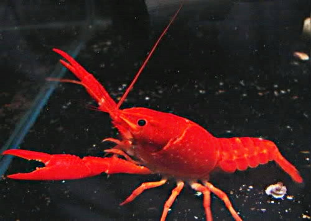 极火虾图集