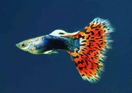 小孔雀鱼如何分辨公母