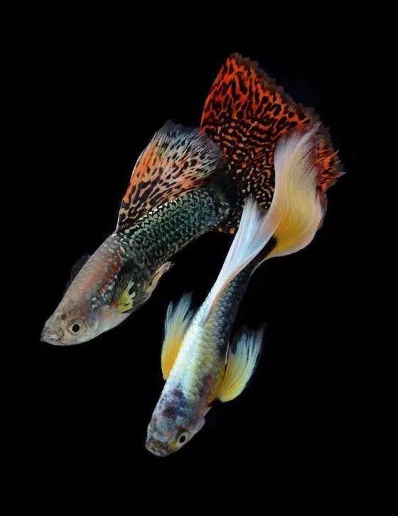 七彩孔雀鱼,美到惊艳!