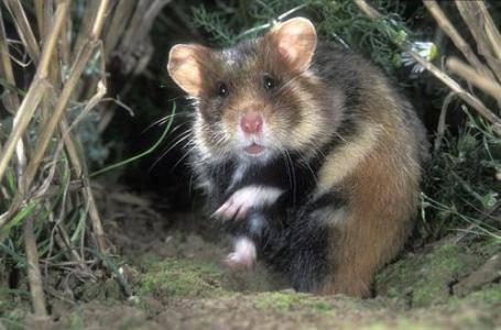 仓鼠喜欢储藏食物怎么办?