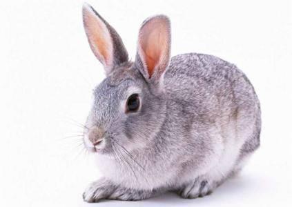 兔子为什么会叫?