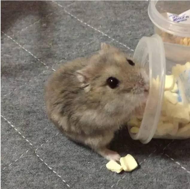 活捉一只偷零食的仓鼠
