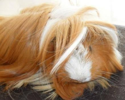 荷兰猪脱毛问题如何解决