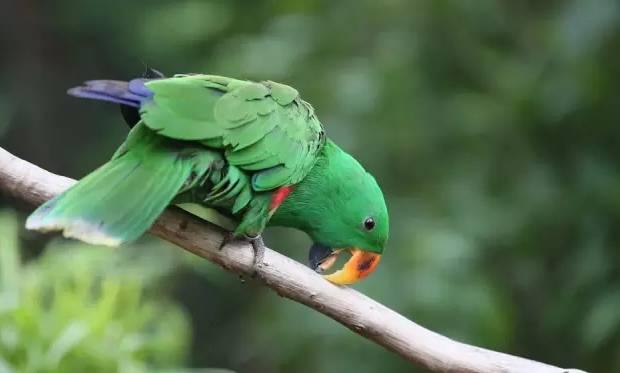 折衷鹦鹉外形特征及习性