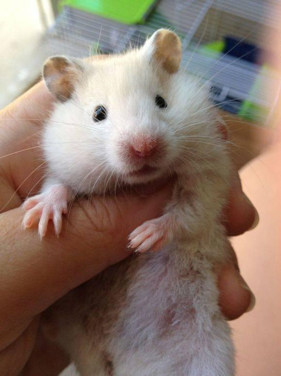 白熊仓鼠1个月了,非常活泼可爱,身体非常健康