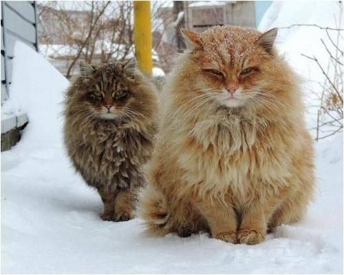 西比利亚森林猫的特征、性格以及饲养方法