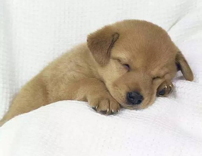 犬瘟潜伏期有多长,犬瘟症状前兆及后期临死前症状