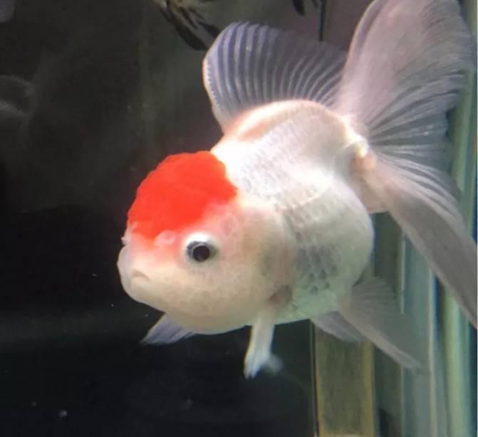 这五种鱼寓意吉祥又皮实好养,新手鱼友收藏!