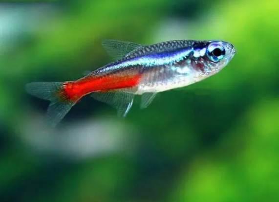 红绿灯鱼怎么养?红绿灯鱼超好养,只要注意这几点,保证养不死它们