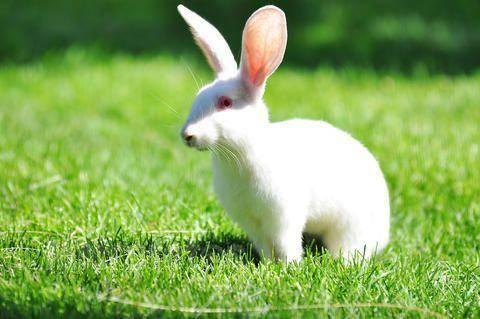 兔子得了流感会传染人吗?