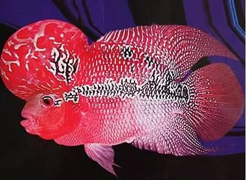 观赏鱼中,智商最高的竟然是...