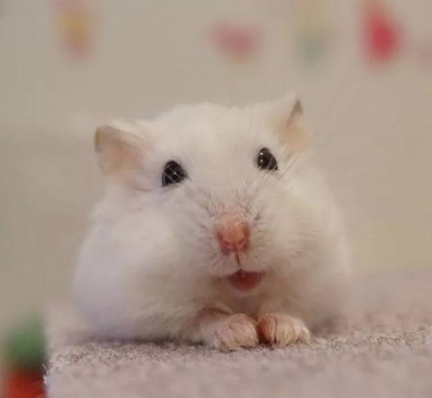 仓鼠刚到家该如何安置?