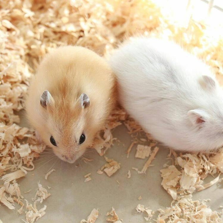 布丁仓鼠怎么训练互动?