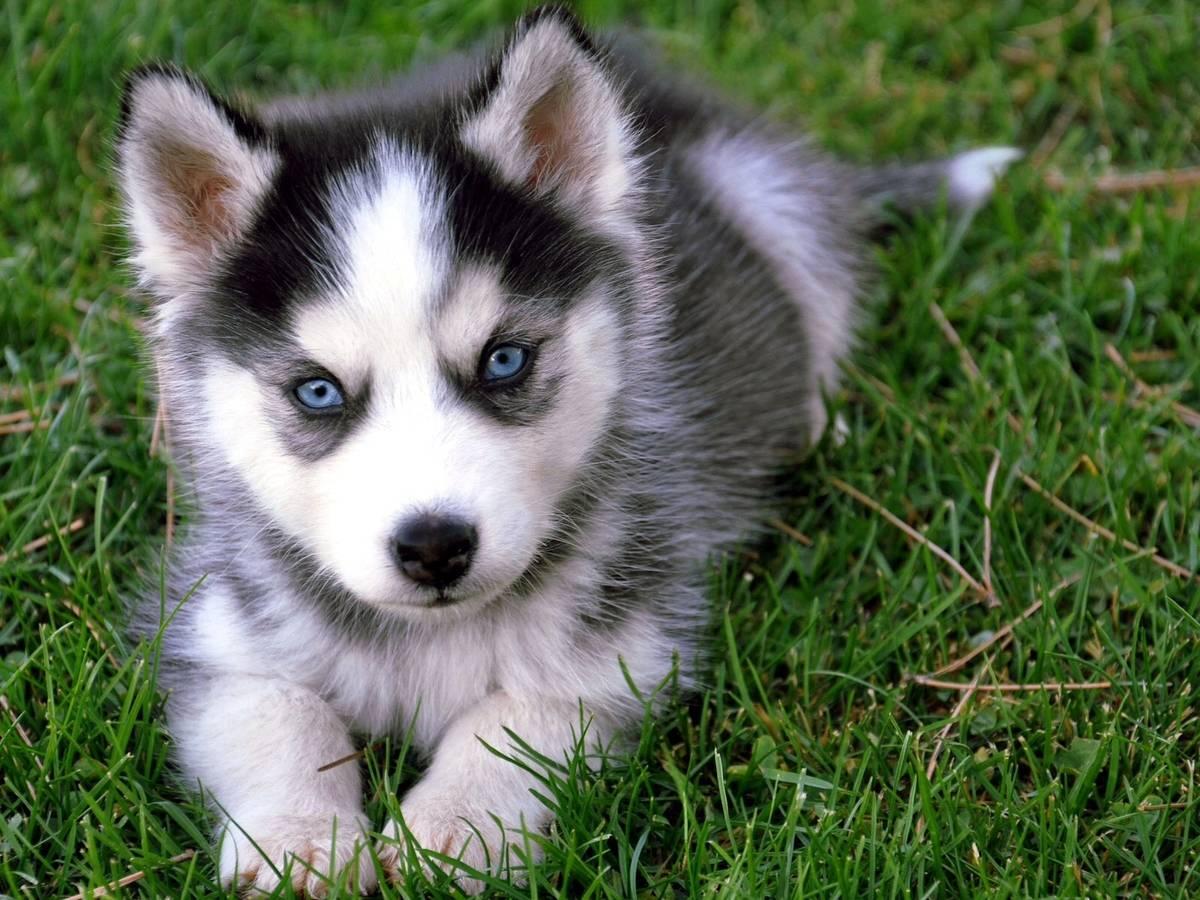 Husky_baby.jpg