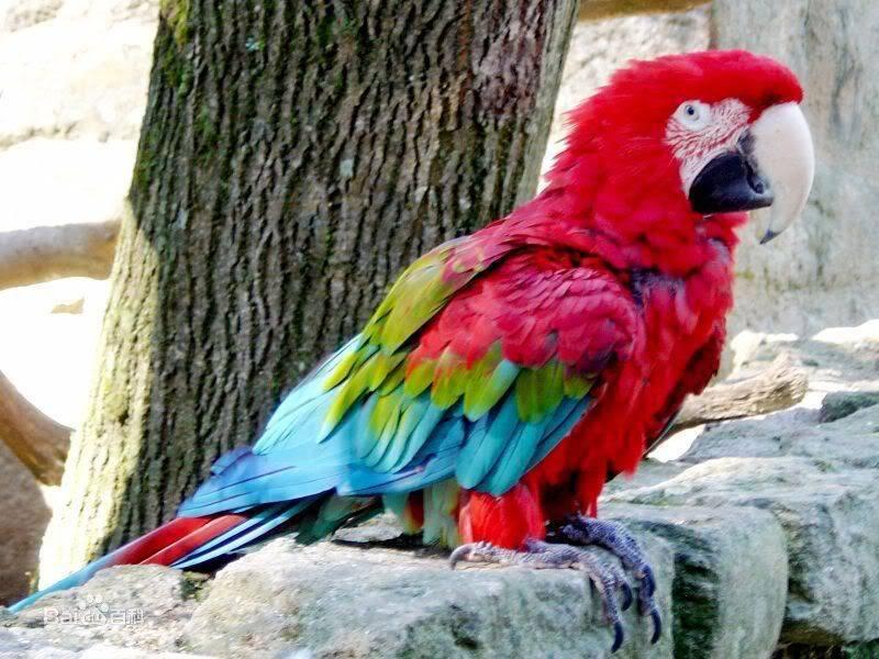 如何使手养鸟可以带出门不会飞走
