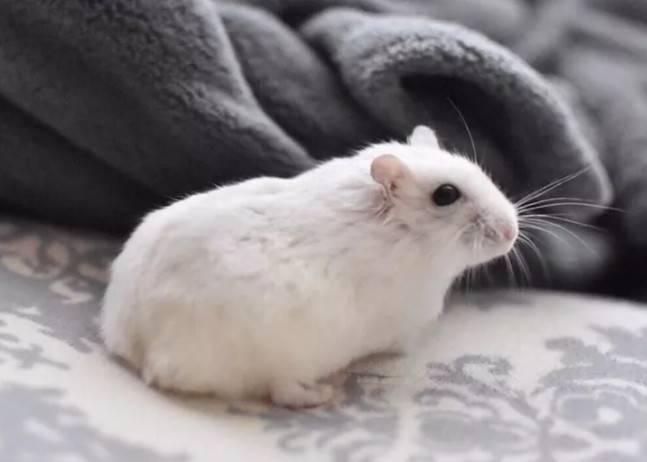 仓鼠年龄对照表,怎么判断仓鼠年龄?