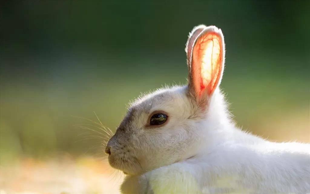 老年兔牙齿不好使了怎么办?