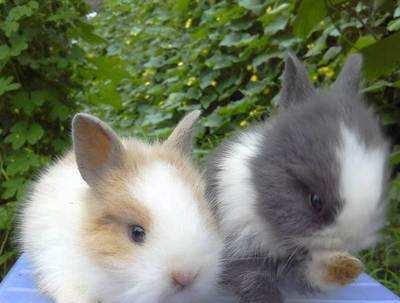 为什么农村的兔子能吃红薯,城里的兔子就不行?