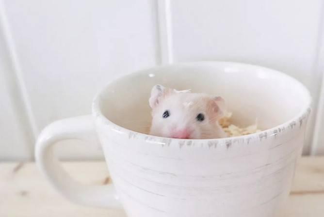 仓鼠生产前也要注意分笼