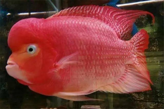 从小罗汉鱼怎么养到大鱼的营养攻略