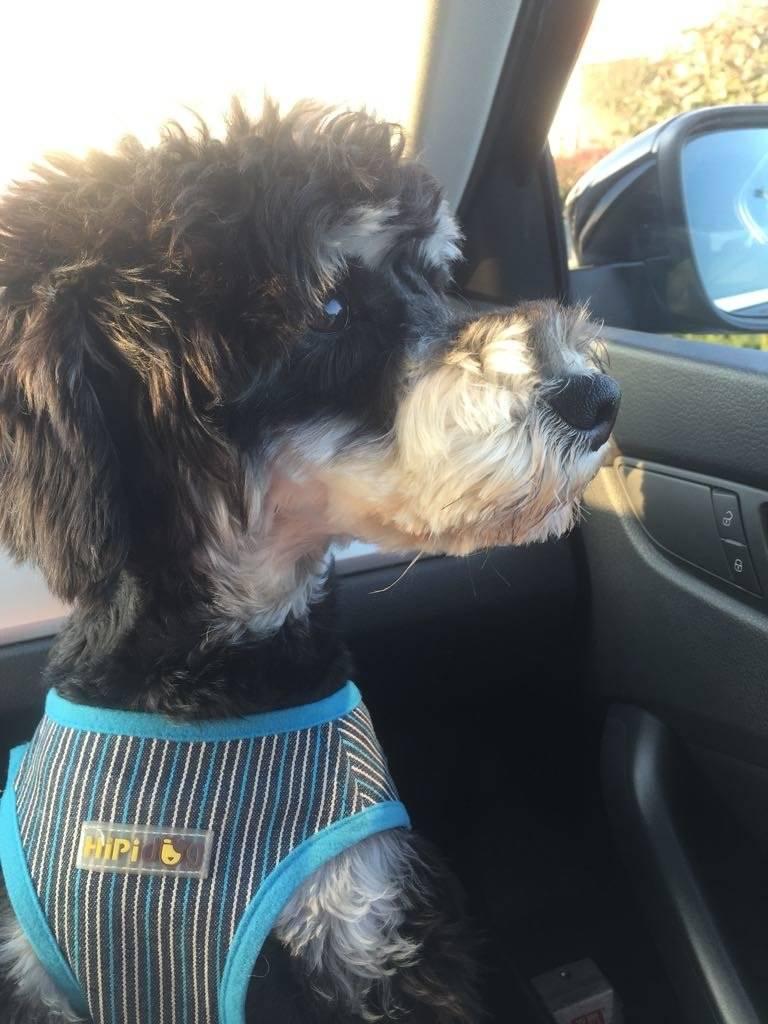 想带狗狗出去旅游怎分享,分享带雪纳瑞旅行的经历