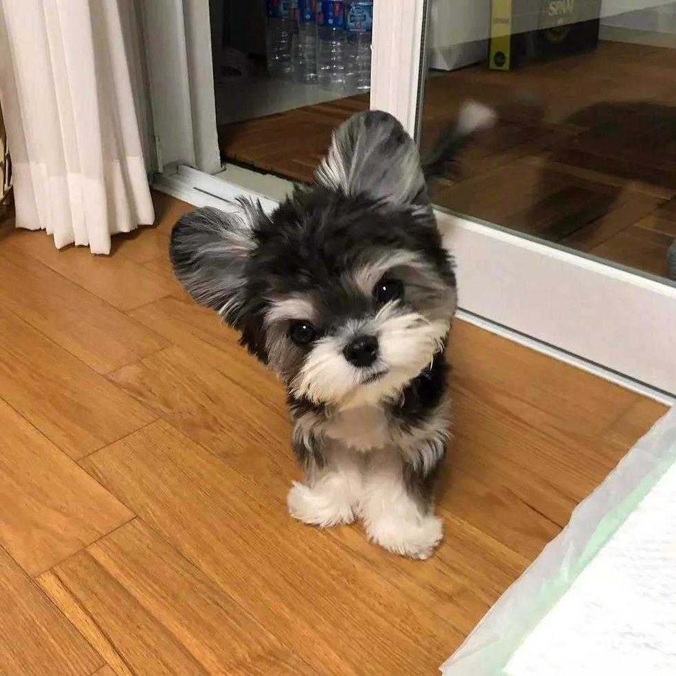 金毛寻回犬_网友家的狗子是雪纳瑞和贵宾混血,所以同时拥有雪纳瑞直挺挺 ...