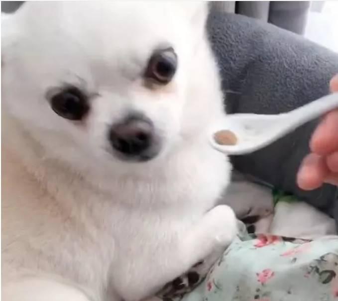 狗狗不肯吃狗粮,用勺子亲自喂,狗子的反应让主人气炸!