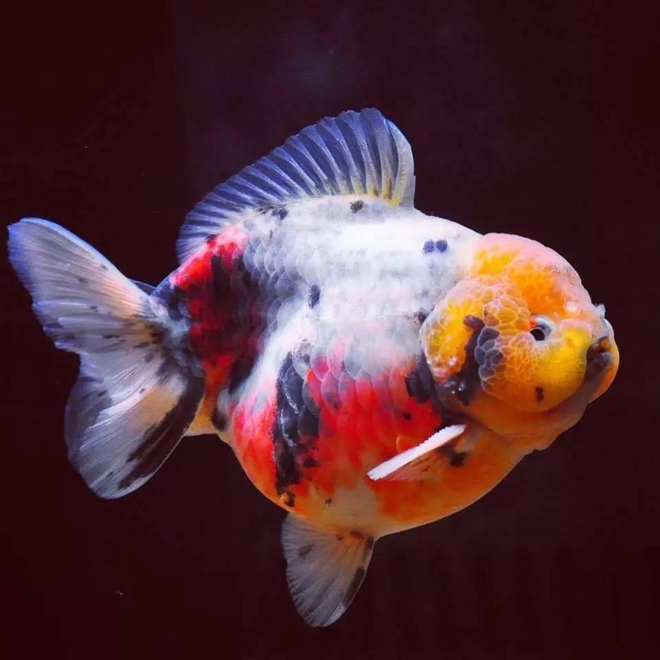 新年快乐!献上几条好鱼祝各位年年有鱼!祝大家新年快乐,开开心心,健健康康!