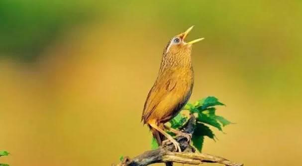 新手如何挑选一只没有笼品问题的画眉唱鸟