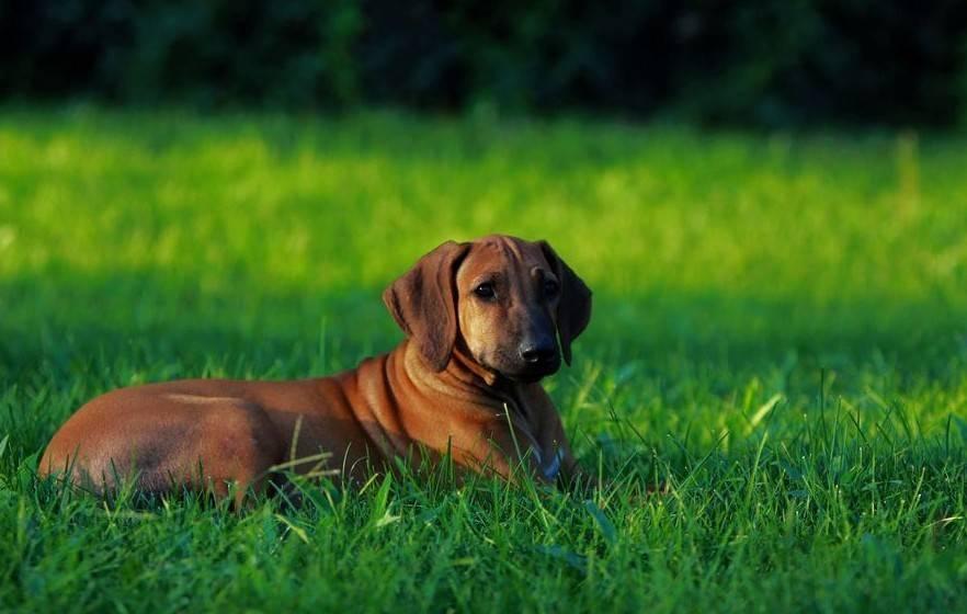 罗得西亚脊背犬它因脊背上的刀疤而出名,完全碾杀比特犬!